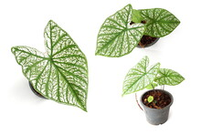 Caladium Bicolor With White Leaf And Green Veins On White  Background