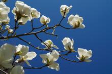 White Magnolias Against The Blue Spring Sky