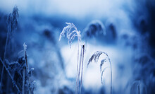 Thin Dry Spikelets In The Field Are Covered With Frost On A Frosty, Snowy January Day In Winter. Nature.