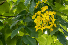 Blossom Yellow Golden Shower Flower (Cassia Fistula) With Green Leaf On The Tree Over Natural Background At Thailand.