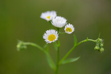 Erigeron Annuus, The Annual Fleabane, Daisy Fleabane, Or Eastern Daisy Fleabane, Is A North American Plant Species In The Daisy Family Naturalized In Europe.