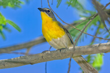 Yellow-Breasted Chat Of Arizona