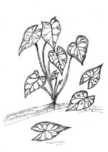Hand Drawing Of Caladium Plant With Black Ink On Paper,
