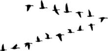 V Formation Of Birds, Gooses Flock