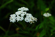 Close-up Of Little Yarrow Flowers In The Fild