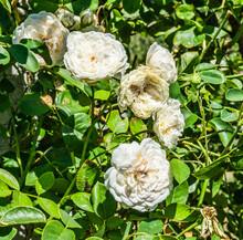 Summer White Roses Cluster