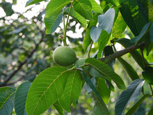 Unripe Walnuts Growing On A Walnut Tree