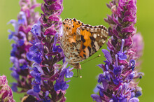 Beautiful Brown Butterfly On A Purple Flower On A Green Background.One Butterfly With Black Spots.The Butterfly Is Black And Orange.