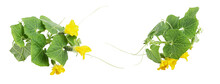 Fresh Young Cucumber Leaves, Fresh Young Cucumbers (gherkins) Cucumber Flowers, Isolated On A White Background
