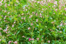 Sunny Photo Spring Flower Bulb, Mertensia Genus Flower Or Bluebell. Selective Focus