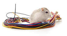 Hamster Biting A Cable.
