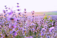 Blooming Bush Of Lavender Flower On The Background Of Sunset In The Summer.