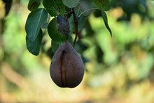 An Old Pear On Tree