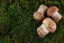 Brown Cap Boletus Mushrooms On Green Moss Background