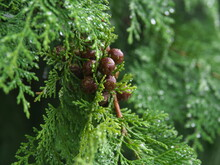 Tokyo,Japan - September 3, 2021: Closeup Of Cypress Leaves And Seeds In The Rain