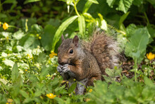 Close Up Of A Cute Grey Squirrel Eating Some Seeds On The Ground Surrounded By Green Grasses