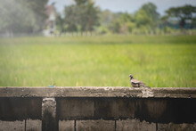 A Spotted Dove Perched On A Concrete Fence In Front Of Rice Field.