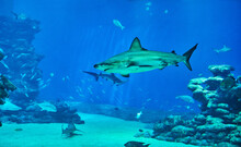 Sharks In Large Aquarium In The Red Sea Swim Among Other Exotic Fish