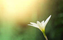 Beautiful White Rain Lily Flower Or Zephyranthes Grandiflora On With Sunlight And Bokeh Blurred Background, Selective Focus. Shallow DOF. Copy Space For Text.