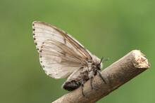A Gypsy Moth, Lymantria Dispar, Perched On A Twig.