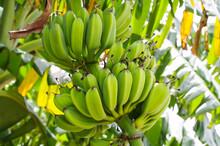 熟成前のバナナの実