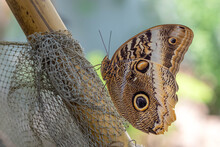 Caligo Eurilochus Or The Forest Giant Owl Butterfly Wing Pattern