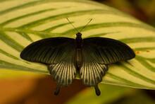 Papilio Memnon, Great Mormon Butterfly
