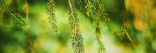 Spruce Tree Branches As Abstract Nature Background And Natural Environment Concept