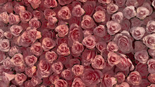 Colorful, Pink Flower Blooms Arranged In The Shape Of A Wall. Romantic, Bright, Roses Composed To Create A Elegant Floral Background. 3D Render