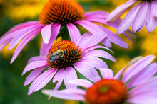 Purple Cone Flower With Bee.  Blurry Background, Bokeh With Copy Space