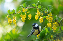 Little Bird Sitting On Blooming Tree With Yellow Flowers. Great Tit (Parus Major)