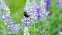 Bumblebees Flying And Sitting On White And Purple Meadow Flower Eating Nectar And Pollinating
