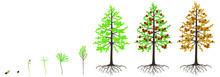 Cycle Of Growth Of A Dahurian Gmelin Larch Tree On A White Background.