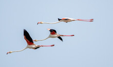 Closeup Of The Flock Of Flamingos Flying In The Sky.