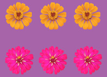 Top View, Collection Set Of Pink And Yellow Zinnia Flower Blossom Blooming Isolated On Purple Background For Stock Photo, House Plants, Spring Floral