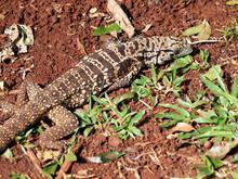 Large Lizard Lying In Red Soil