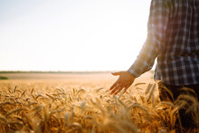 Man Walking During Sunset And Touching Wheat Ears In Gold Field. Growth Nature Harvest. Agriculture Farm.