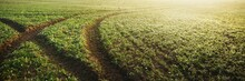 Green Plowed Agricultural Field, Tractor Tracks, Close-up. Picturesque Panoramic Landscape. Rural Scene. Natural Pattern, Texture, Background