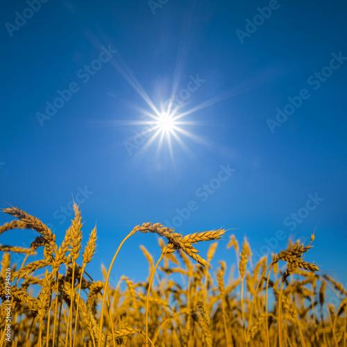 summer wheat field under a sparkle sun
