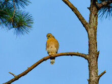 Red-Shouldered Hawk Scanning For Prey From A High Branch Of A Pine Tree
