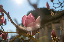 Magnificent Magnolia Flower Illuminated By The Rays Of The Sun, In Spring. Beautiful Large Pink And White Flowers, Blue Sky, Romantic Scene