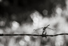 Dragon-fly On A Wire
