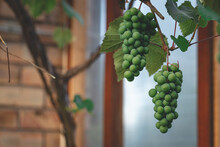 Cluster Of Unripe Green Grapes In Personal Greenhouse. Great Product For Eating, Making Juice And Vine
