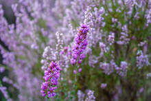 Close Up Of Purple Pink Heather Flowers