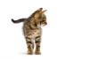 Leinwandbild Motiv kitten stands on a white background
