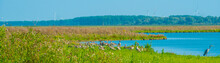 The Edge Of A Lake With Reed And Wild Flowers In Wetland In Sunlight In Summer, Almere, Flevoland, The Netherlands, September 3, 2021