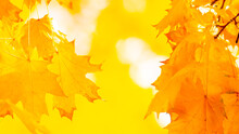 Maple Leaves On Branch. Colorful Autumn Maple Leaves On A Tree Branch Background. Fall Background. Beautiful Nature Scene