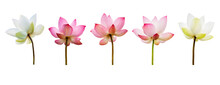 Pink Lotus Flower Collections Isolated On White Background. Nature Concept For Advertising Design And Assembly. File Contains With Clipping Path So Easy To Work.
