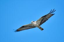 Osprey (Pandion Haliaetus) In Flight Vermillion Lakes, Banff, Alberta, Canada,