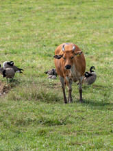 Isolated Banteng Cattle On The Grassland